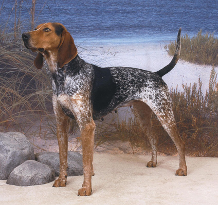 American English Coonhound Photo