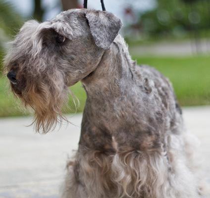 Cesky Terrier Photos
