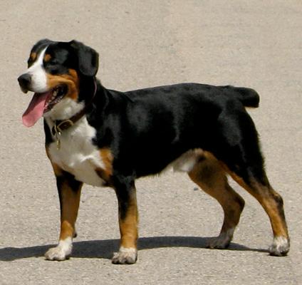 Entlebucher Mountain Dog Photo