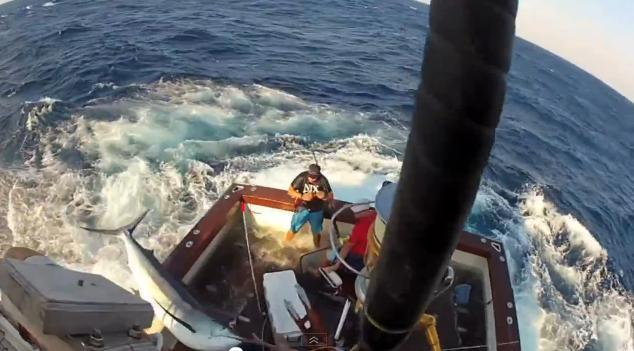 Giant marlin leaps on fishing boat