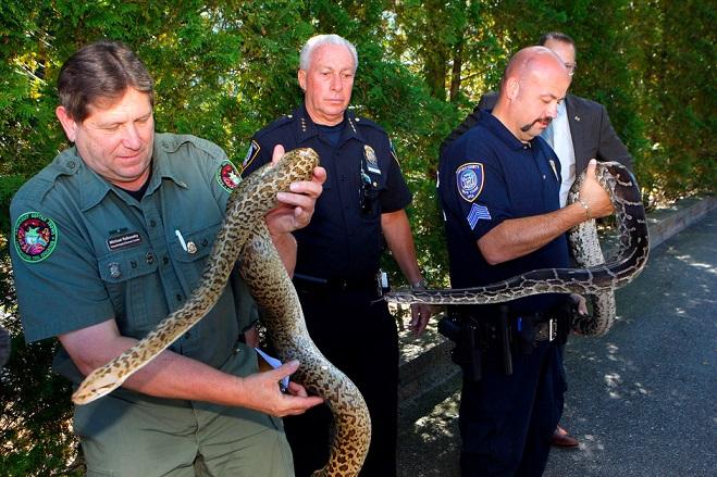 Burmese pythons, 850 Snakes Found, 850 Snakes in New York, 850 Snakes in garage, 850 Snakes found in NY