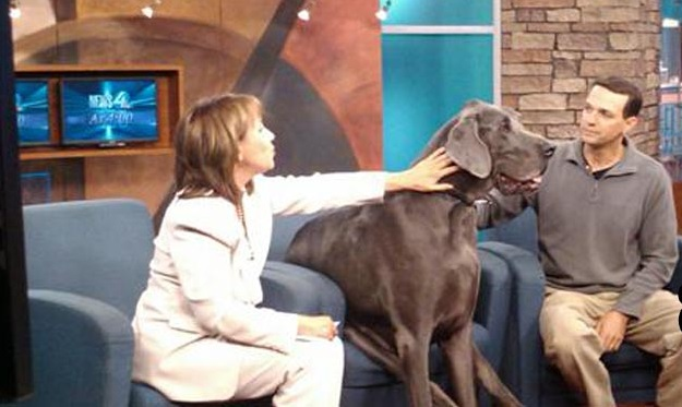 Dave Nasser, Giant George, Giant Great Dane, Great Danes, Worlds biggest dog, Worlds Tallest Dog ever recorded, Worlds Tallest Living Dog, Life with the World's Biggest Dog