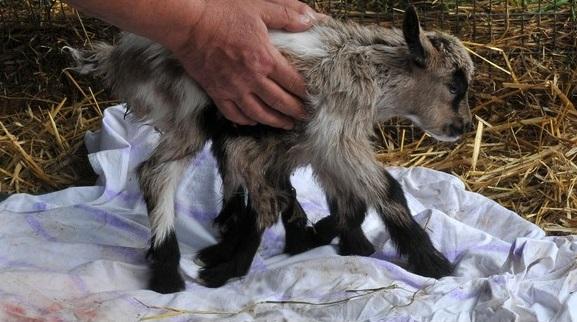 Octogoat, eight legged goat kid, eight legged goat, eight legged kid, eight-legged goat, new born goat, Octogoat dual organ